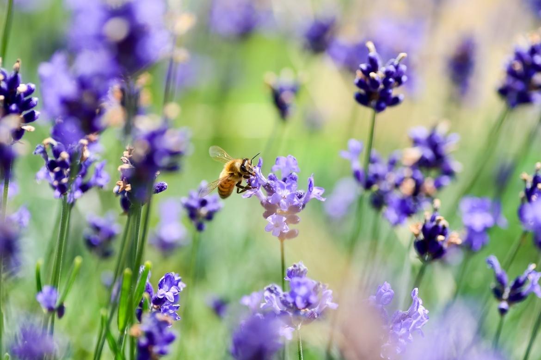 lavender-3490600_1280.jpg